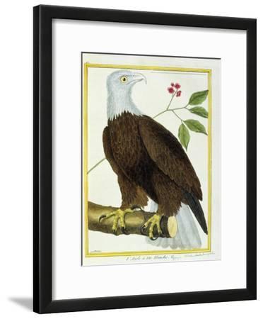 White-Headed Eagle, C.1770-1786