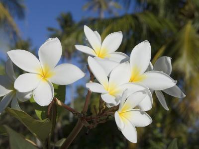 Frangipani Flowers, Fakarawa, Tuamotu Archipelago, French Polynesia Islands-Sergio Pitamitz-Photographic Print