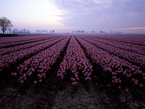 Purple Tulips by Frank Bunnik