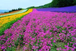 Furano Lavender Season by Frank Chen