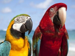 Colourful Parrots, Punta Cana, Dominican Republic, West Indies, Caribbean, Central America by Frank Fell