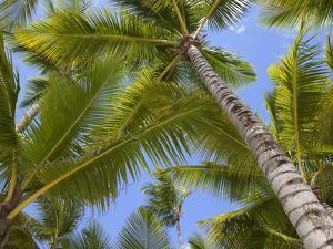 Palm Trees, Punta Cana, Dominican Republic, West Indies, Caribbean, Central America by Frank Fell