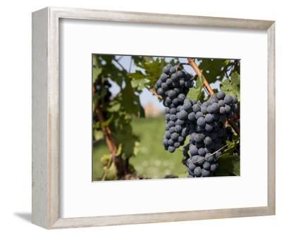 Vineyard Near Parma, Emilia Romagna, Italy, Europe