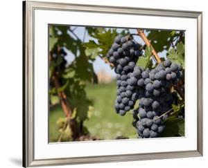 Vineyard Near Parma, Emilia Romagna, Italy, Europe by Frank Fell