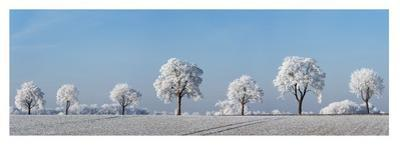 Alley tree with frost, Bavaria, Germany