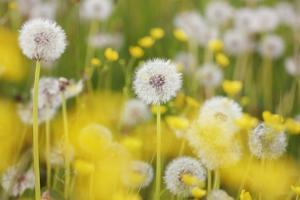 Beautiful Background with Yellow and White Dandelions by Frank Krahmer