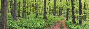 Beech forest, Germany by Frank Krahmer