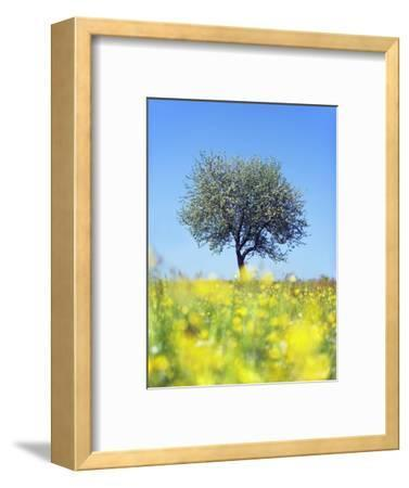 Blossoming Apple Tree in Meadow