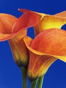 Calla lilies by Frank Krahmer