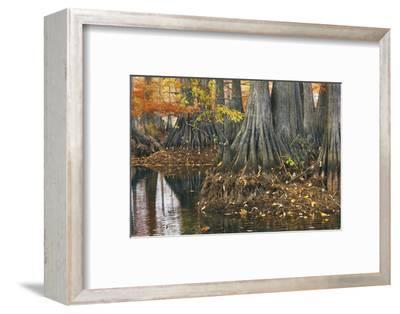 Close-Up of Cypress Tree Trunks, Bayou, New Orleans, Louisiana, USA