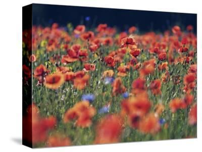 Common poppies and cornflowers