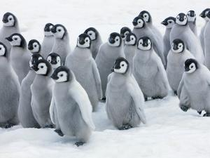 Emperor Penguin Chicks by Frank Krahmer