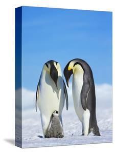 Emperor penguins by Frank Krahmer