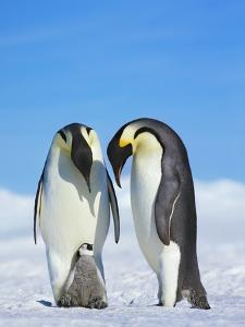 Emperor penguins by Frank Krahmer