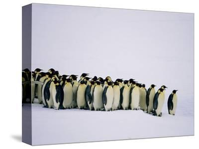 Emperor pinguins standing in a row, side view