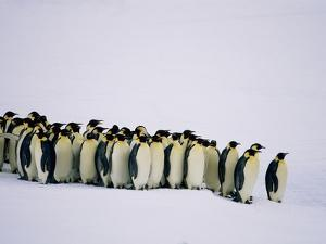 Emperor pinguins standing in a row, side view by Frank Krahmer