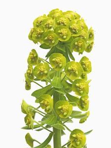 Euphorbia by Frank Krahmer