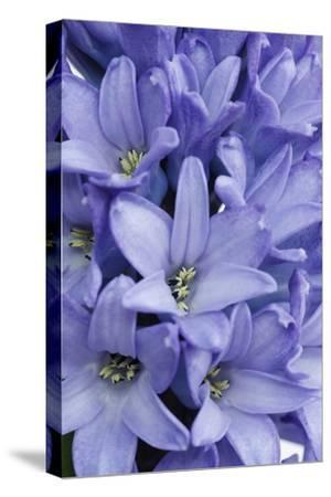 Garden Hyacinth