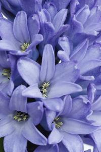 Garden Hyacinth by Frank Krahmer
