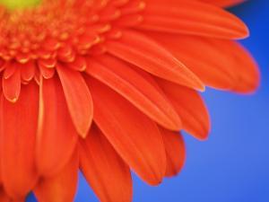 Gerbera daisy by Frank Krahmer