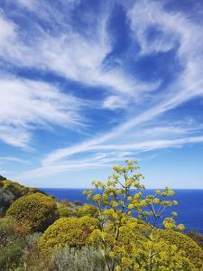 Giant fennel and tree spurge on Stromboli Island by Frank Krahmer