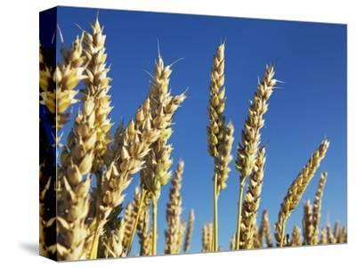 Golden wheat plants
