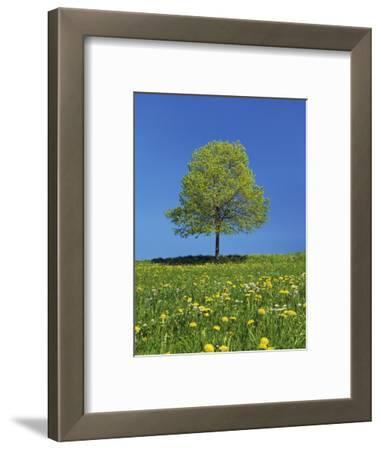 Lime tree in a field of dandelions