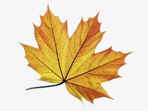 Maple Leaves by Frank Krahmer