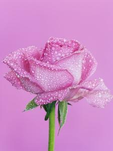 Pink rose with rain drops by Frank Krahmer