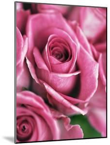Pink roses by Frank Krahmer