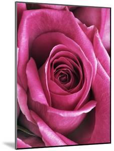 Purple rose by Frank Krahmer