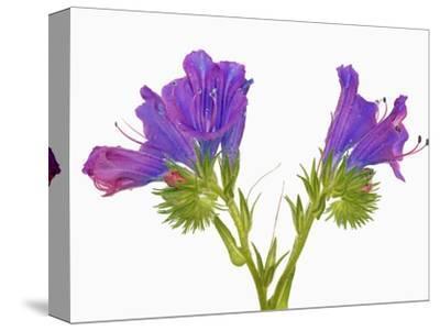 Purple vipers bugloss (echium plantagineum)