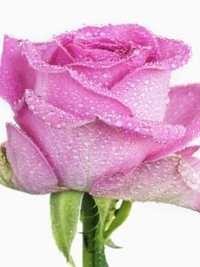 Rose with raindrops by Frank Krahmer