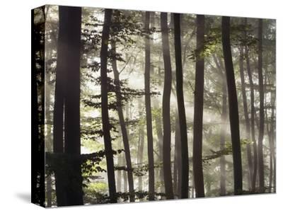 Sunbeams through a beech forest