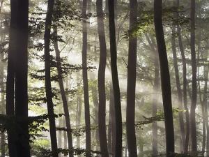 Sunbeams through a beech forest by Frank Krahmer