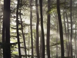 Sunbeams through a beech forest by Frank Krahmer