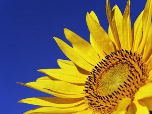 Sunflower by Frank Krahmer