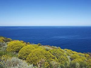 Tree spurge on Stromboli Island by Frank Krahmer