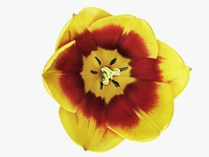 Tulip Blossom by Frank Krahmer