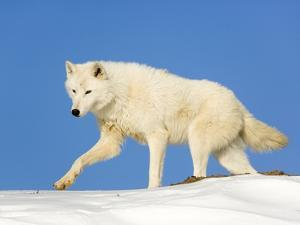 Arctic Wolf Against Blue Sky by Frank Lukasseck