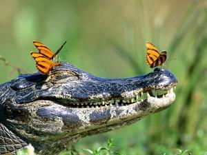 Butterflies resting on caiman by Frank Lukasseck