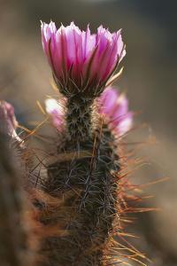 Cactus, Bloom, Pink, Detail, Nature, Vegetation, Botany, Plant, Desert-Plant, Succulent by Frank Lukasseck