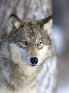 Gray Wolf by Frank Lukasseck
