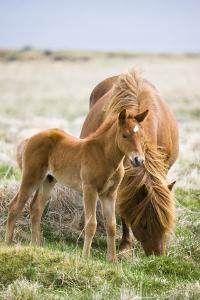 Iceland Horses, Paddock by Frank Lukasseck