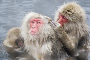 Japanese Macaques in Hot Spring by Frank Lukasseck