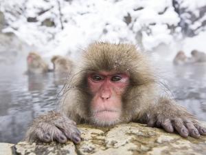 Japanese Snow Monkey in Hot Spring in Winter by Frank Lukasseck