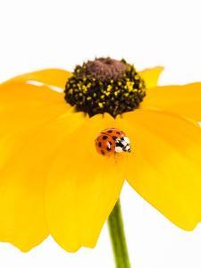 Ladybug on Black-eyed Susan by Frank Lukasseck