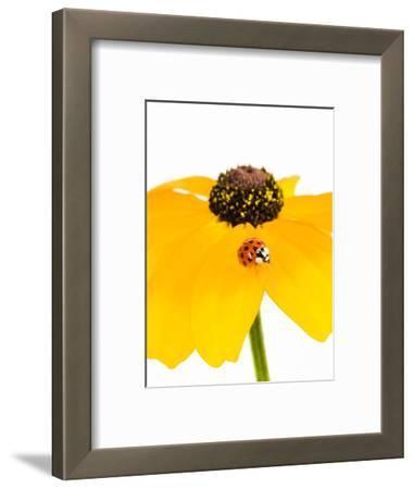 Ladybug on Black-eyed Susan