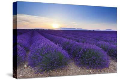 Lavender Field in Bloom at Sunrise