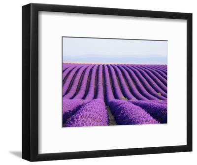 Lavender field in bloom